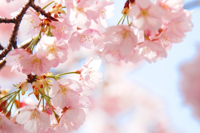 桜 入学式